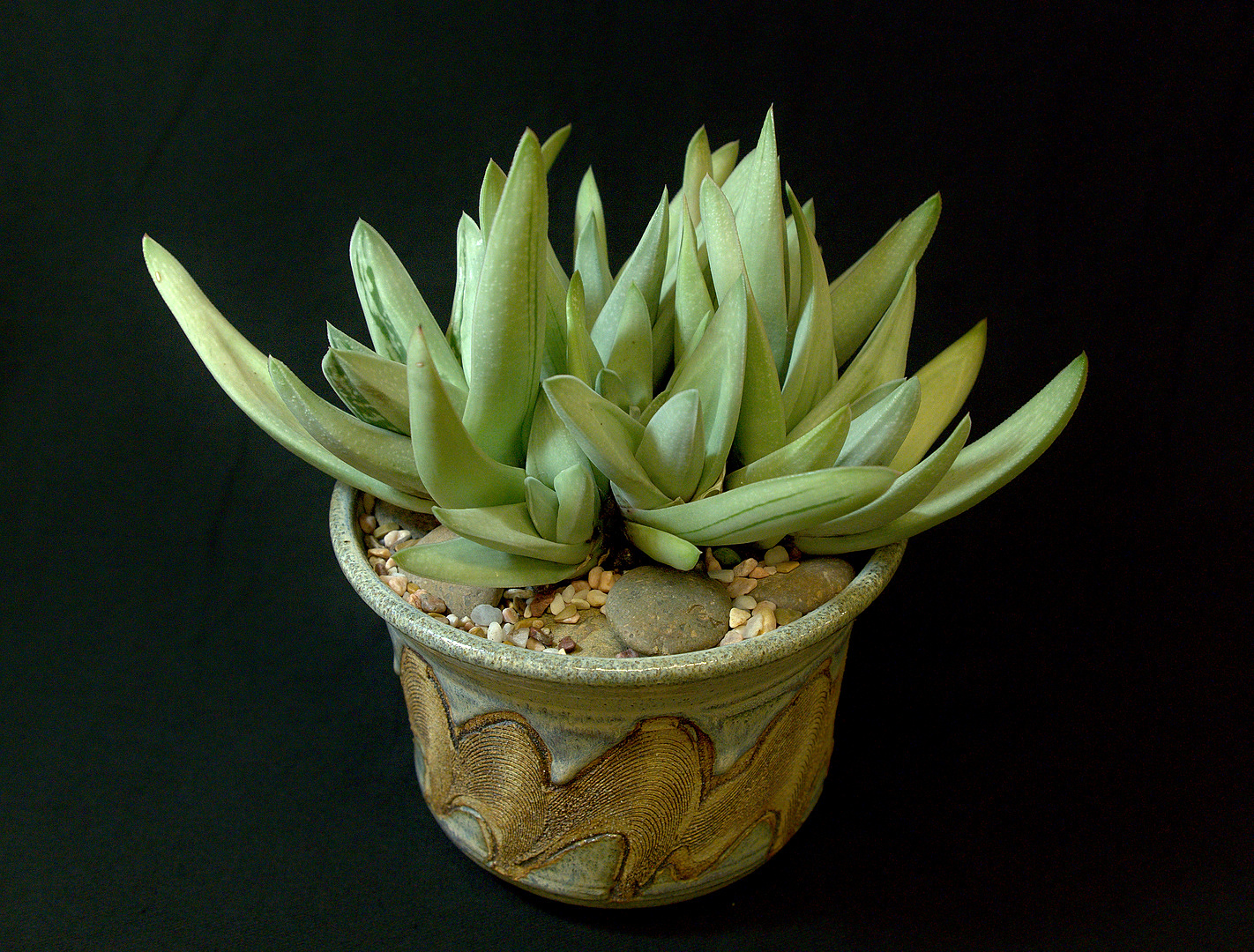 SCCSS 2018 March - Winner Novice Succulent - Coni Nettles - Gasteria 'Green Ice'