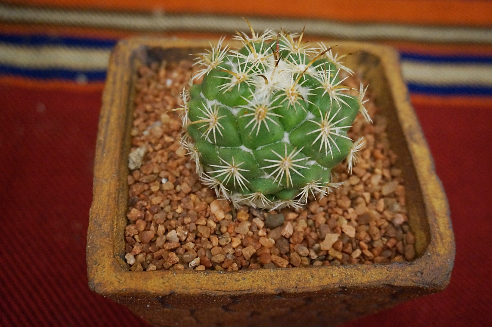 SCCSS 2018 May - Winner Intermediate Cactus - Sally Fasteau - Corypantha pallida ssp. calipensis