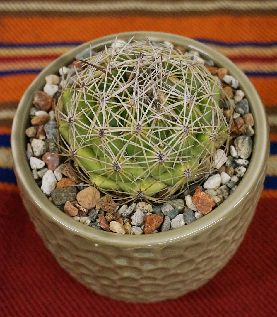 SCCSS 2018 May - Winner Novice Cactus - Terri Straub - Coryphantha pycnacantha