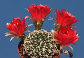 Echinopsis cinnabarina (=Lobivia cinnabarina var. draxleriana)