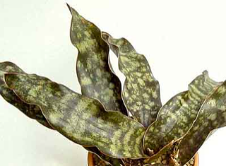 Sansevieria kirkii var. pulchra