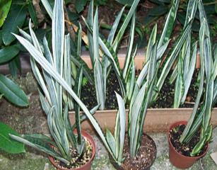 Sansevieria trifasciata 'Bantle's Sensation'