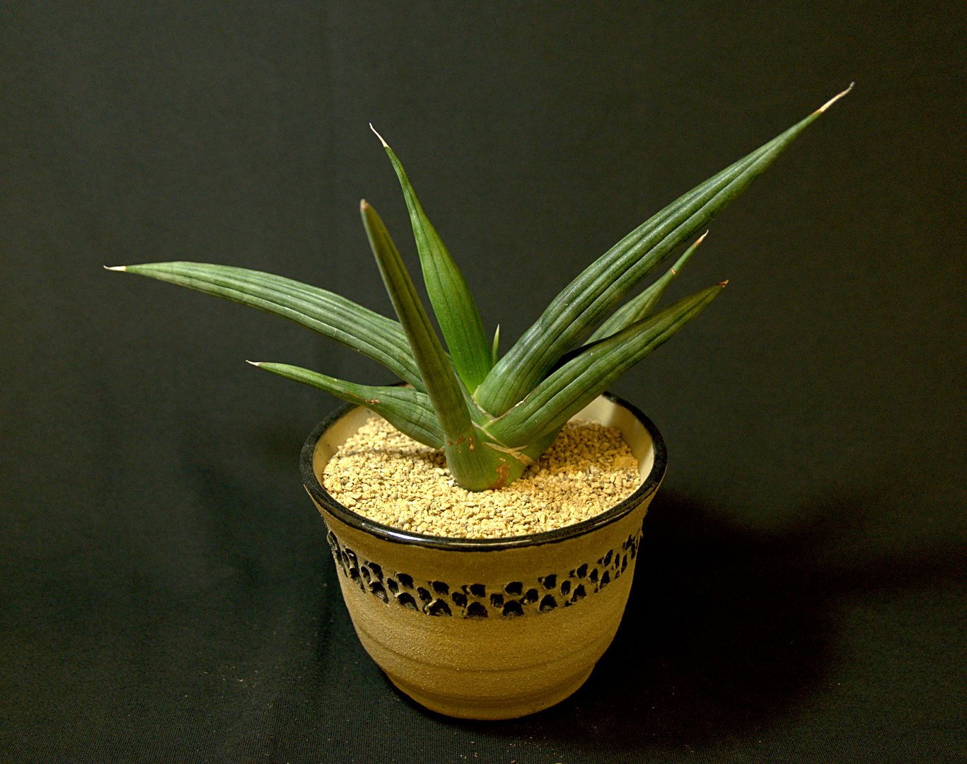 SCCSS 2018 July - Winner Intermediate Succulent - Sally Fasteau - Sansevieria 'Ed Eby'