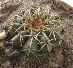 Discocactus bahiensis