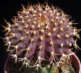 Uebelmannia gummifera var. rubra