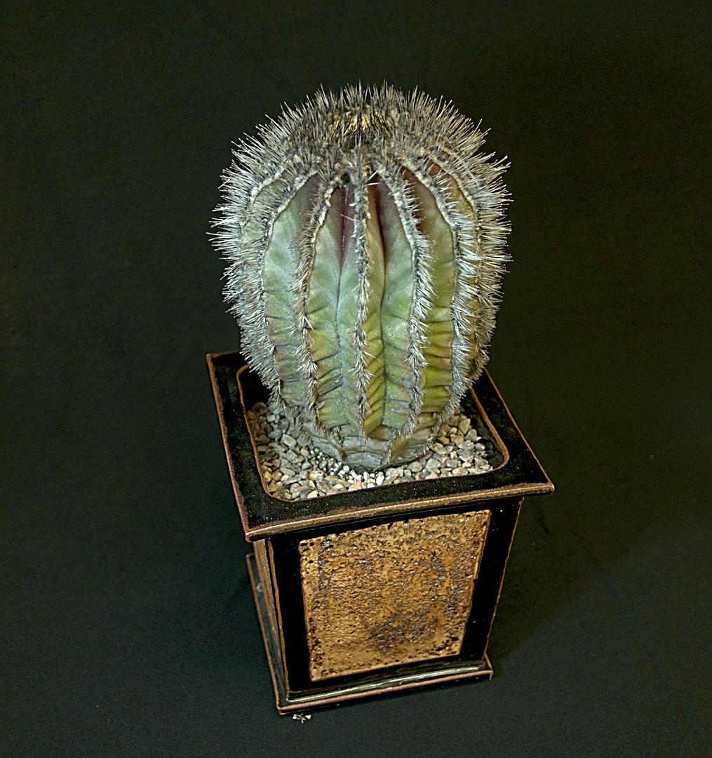 SCCSS 2018 September - Winner Open Cactus - Laurel Woodley - Uebelmannia pectinifera