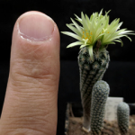 Turbinicarpus kranzianus