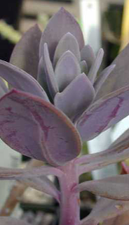 Senecio coccineiflorus