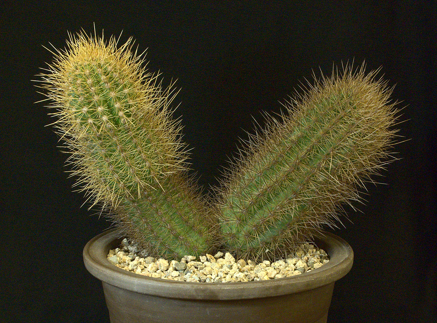 SCCSS 2018 November - Winner Open Cactus - Maria Capaldo - Pachycereus orcutii