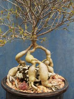 Euphorbia hedyotoide