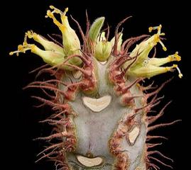 Euphorbia iharanae
