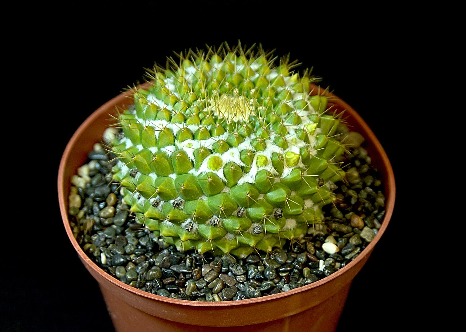 SCCSS 2019 January - Winner Novice Cactus - Nancy Mosher - Mammillaria marksiana