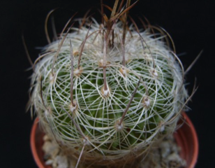 Stenocactus ochoterenanus