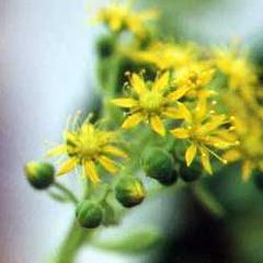 Aeonium lindleyi in flower