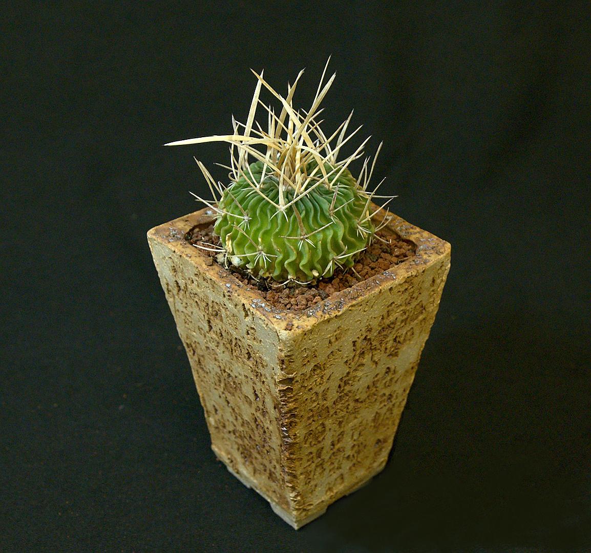 SCCSS 2019 February - Winner Intermediate Cactus - Coni Nettles - Echinofossulocactus phyllacanthus
