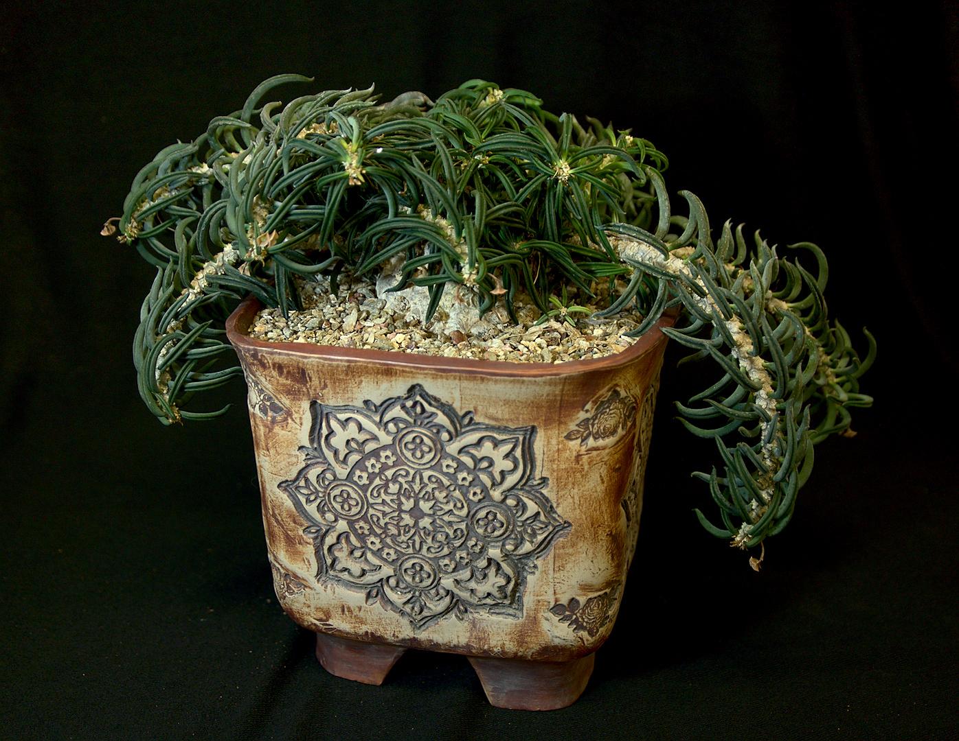 SCCSS 2019 February - Winner Open Succulent - Jim Hanna - Euphorbia cylindrifolia var. tubifera