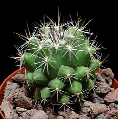 Thelocactus garciae