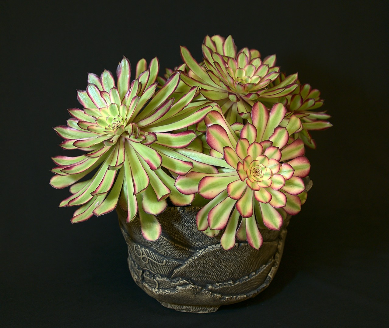 SCCSS 2019 March - Winner Intermediate Succulent - Jade Neely - Aeonium 'Mardi Gras'