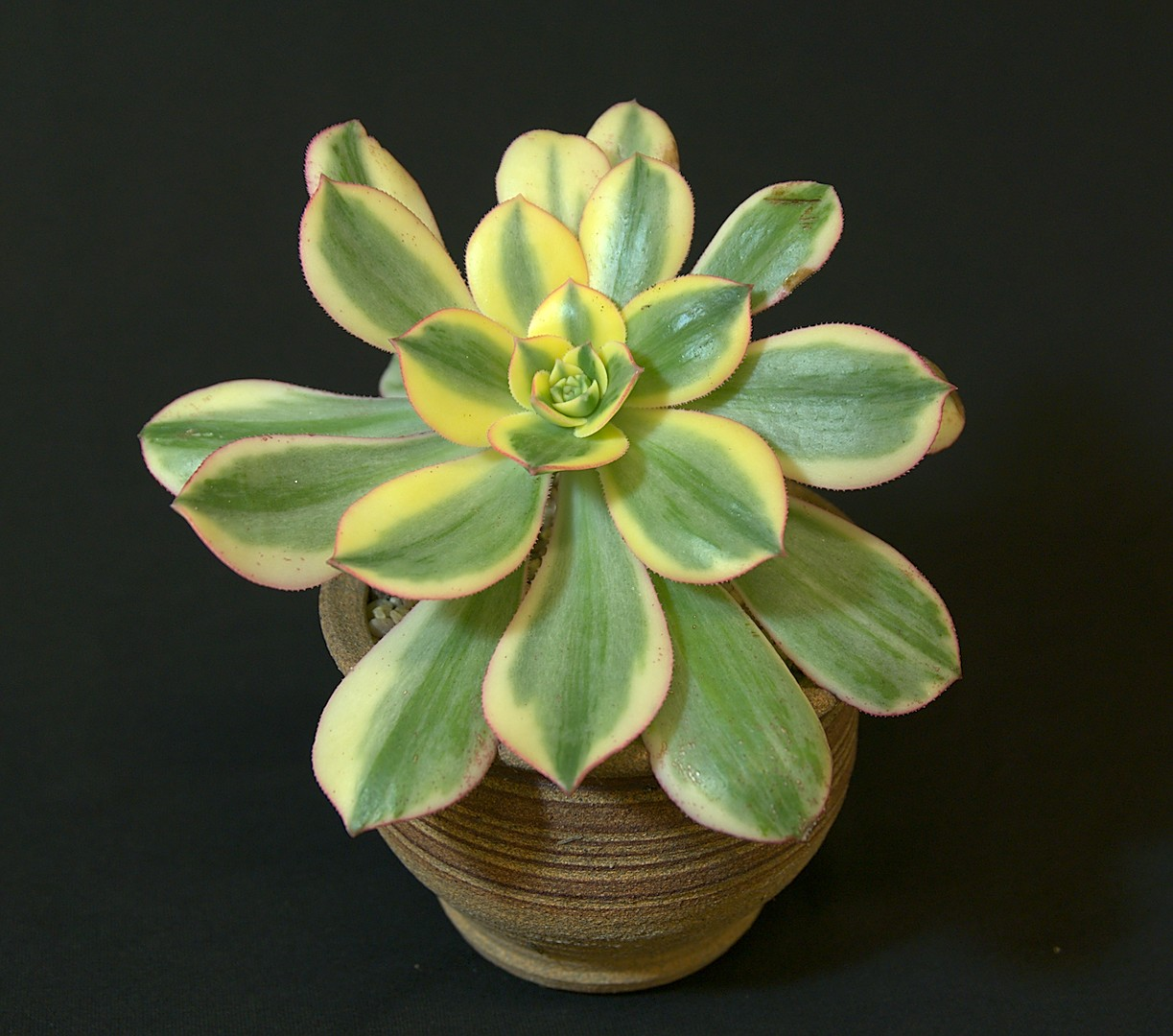 SCCSS 2019 March - Winner Novice Succulent - Ted Johnson - Aeonium 'Sunburst'