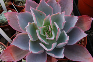 Echeveria 'After Glow'