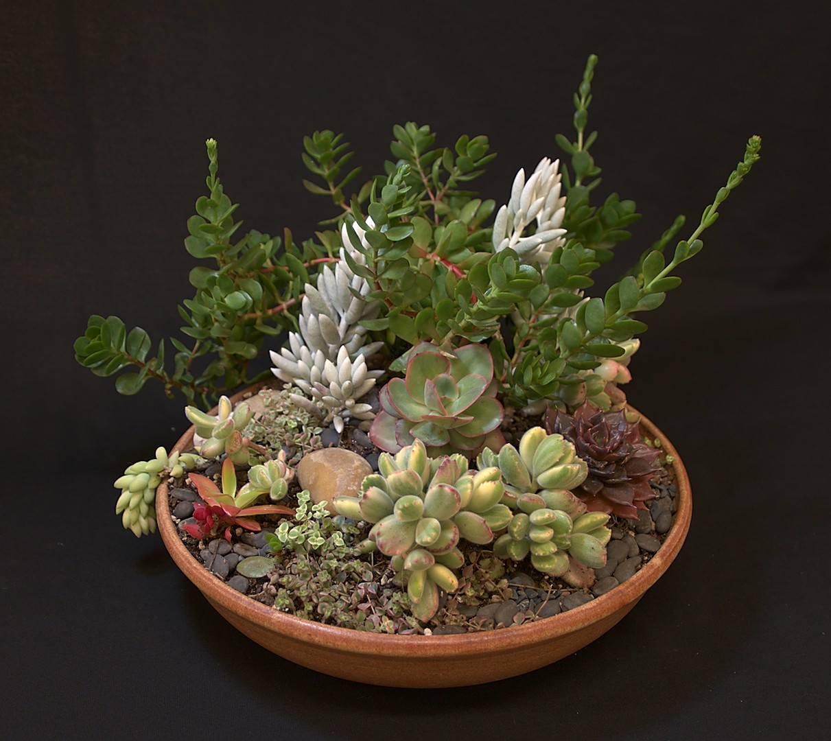SCCSS 2019 May - Winner Intermediate Succulent - Sally Fasteau