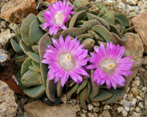 Aloinopsis spathulata