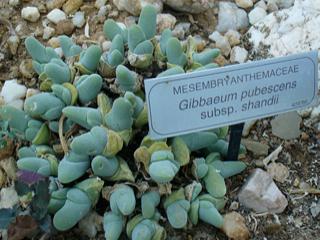 Gibbaeum pubescens ssp. shandii