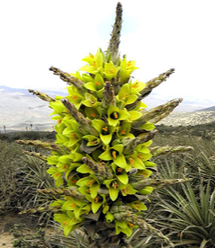 Puya chilensis in flower