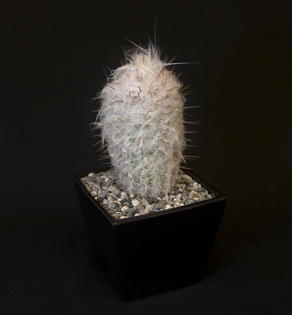 SCCSS 2019 November - Winner Novice Cactus - Terri Straub - Oreocereus trollii