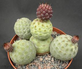 Tephrocactus geometricus inermis