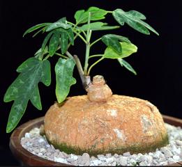 Adenia stenodactyla