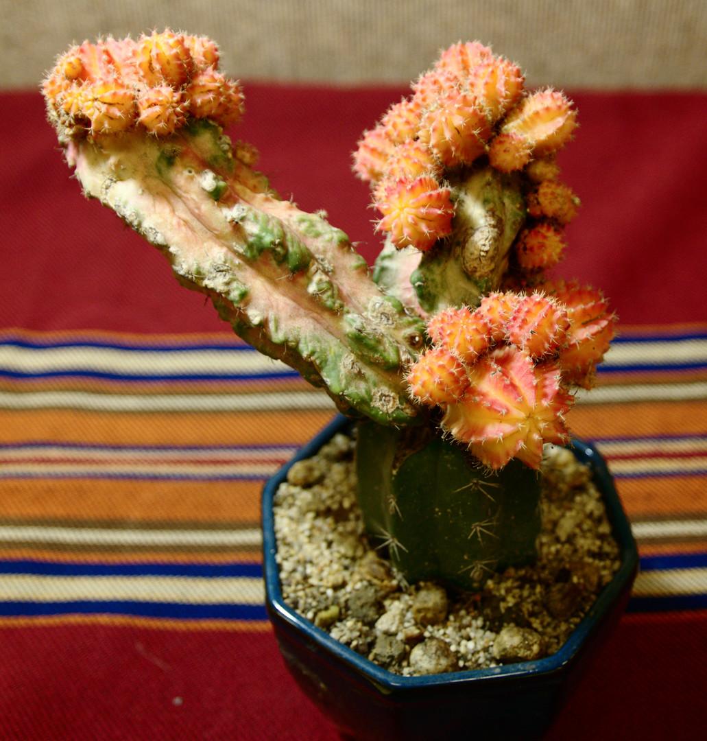 SCCSS 2015 January Winner Open Cactus - Gary Duke - Gymnocalycium baldianum
