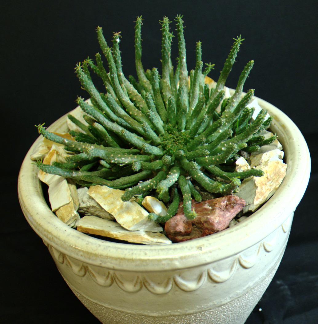 SCCSS 2015 February Winner Intermediate Succulent - Phyllis DeCresenzo - Euphorbia medusoid hybrid