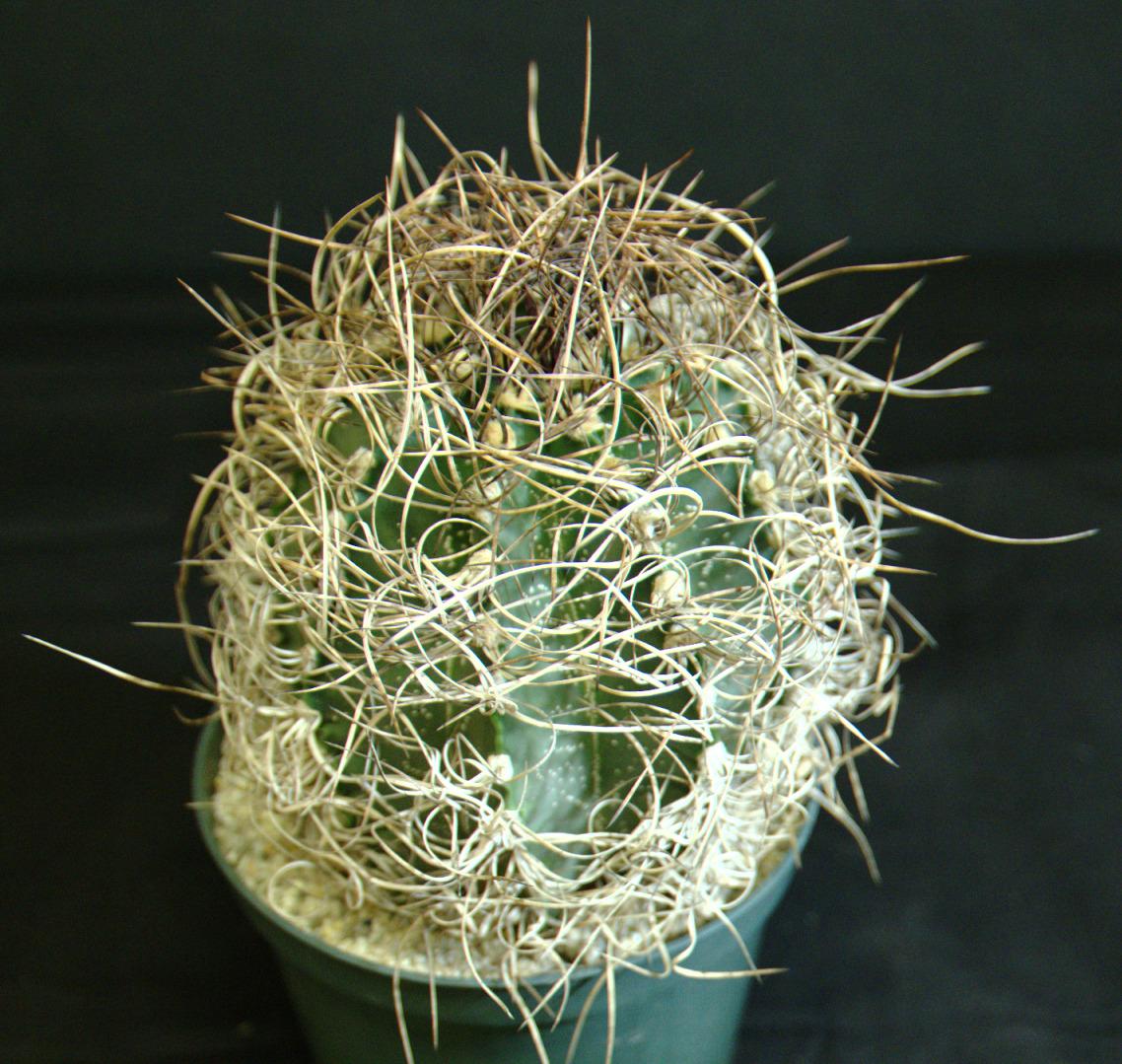 SCCSS 2015 February Winner Open Cactus - Gary Duke - Astrophytum capricorne