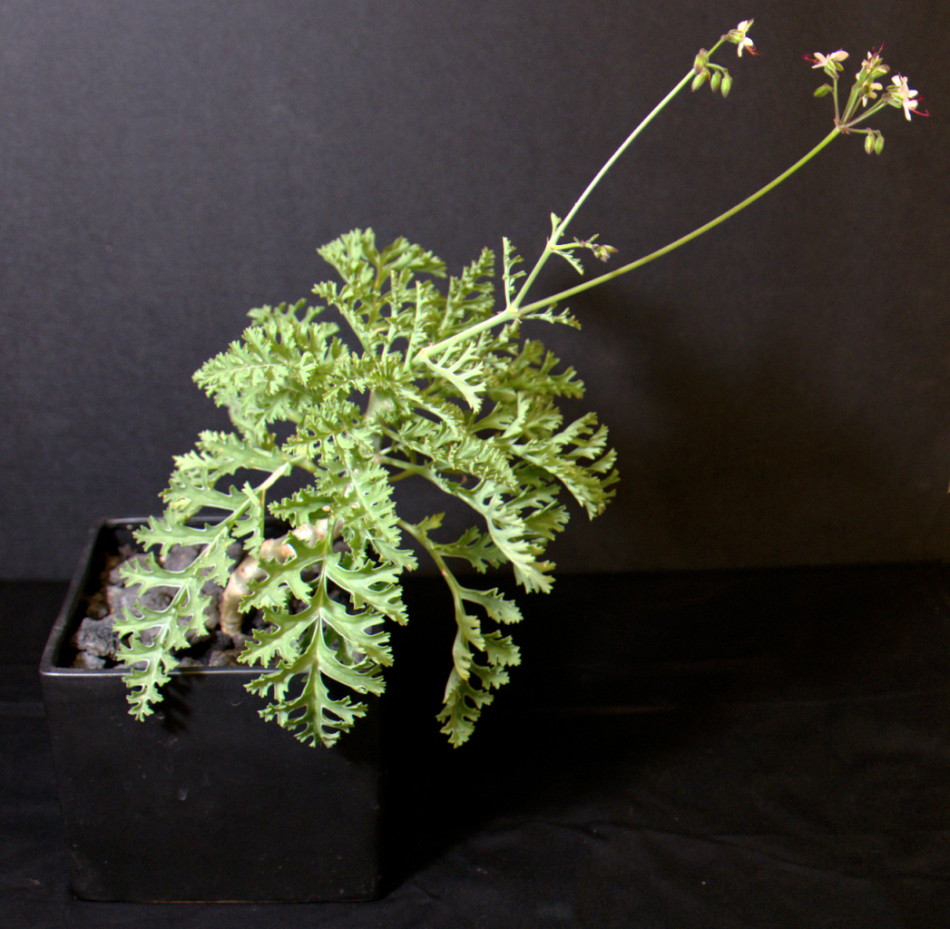 SCCSS 2015 March Winner Novice Succulent - William Wilk - Pelargonium laxum