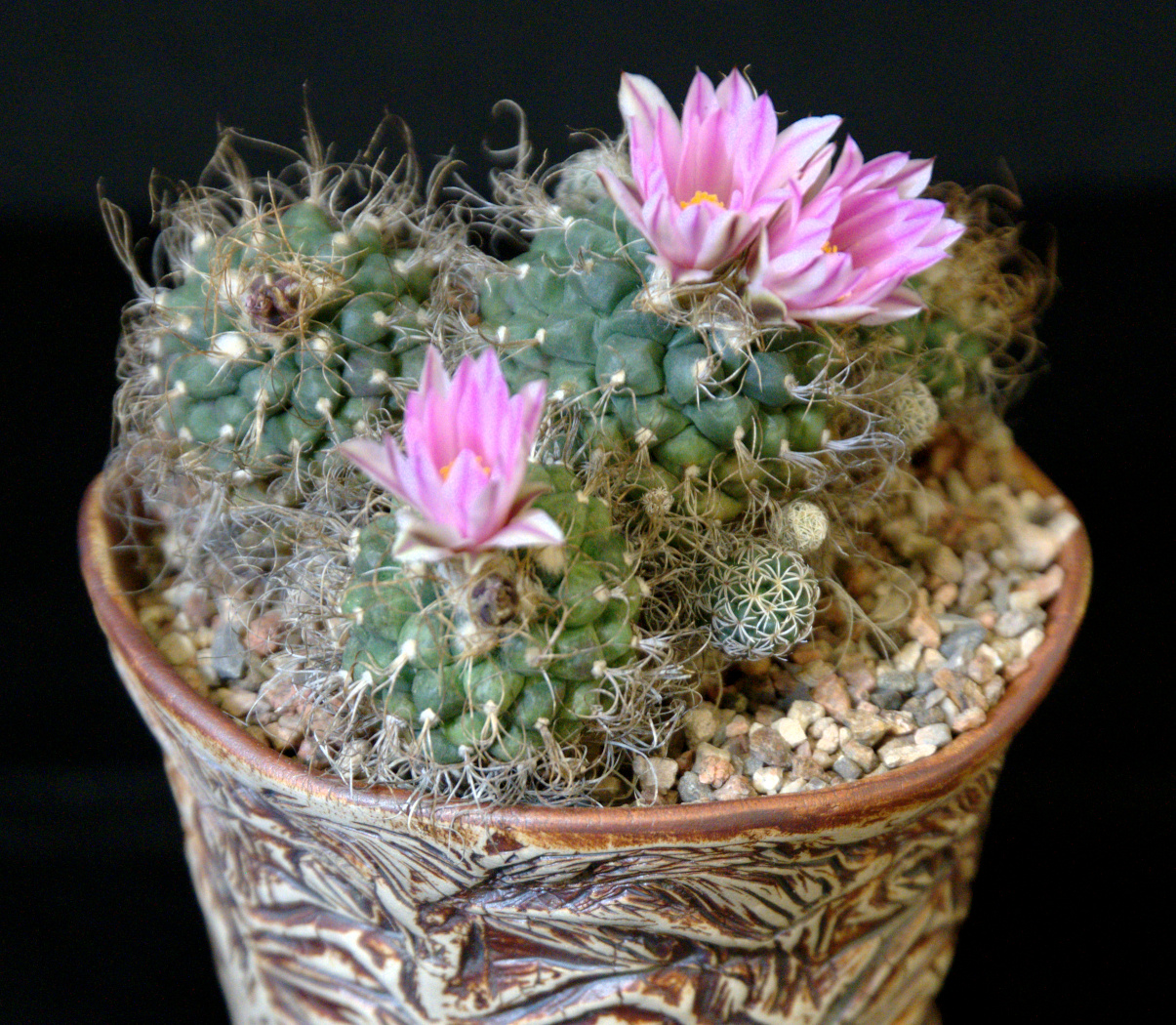SCCSS 2015 March Winner Open Cactus - Gary Duke - Turbinicarpus pseudomacrochele