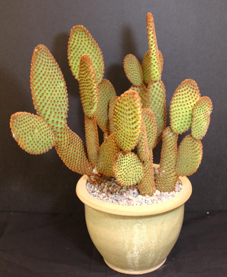 SCCSS 2015 May Winner Intermediate Cactus - Phyllis DeCresenzo - Opuntia basilaris