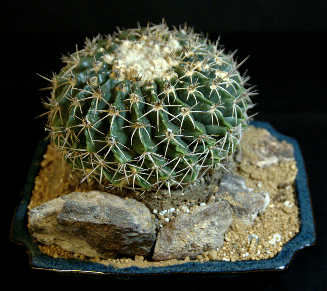 SCCSS 2015 June - Winner Intermediate Cactus - Jade Neely - Parodia sellowii