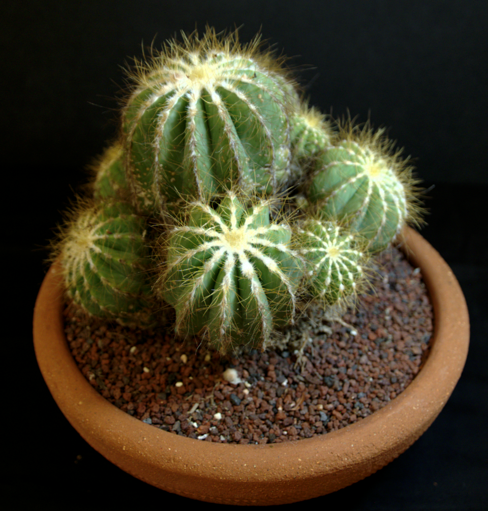 SCCSS 2015 June - Winner Open Cactus - Dale LaForest - Parodia magnifica