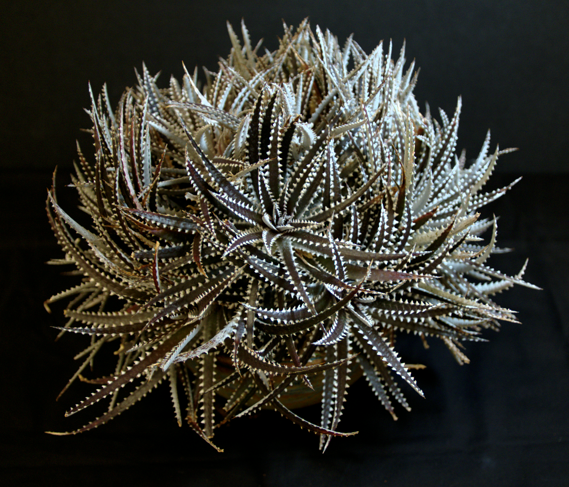 SCCSS 2015 June - Winner Open Succulent - Jim Hanna - Dyckia 'Brittle Star'