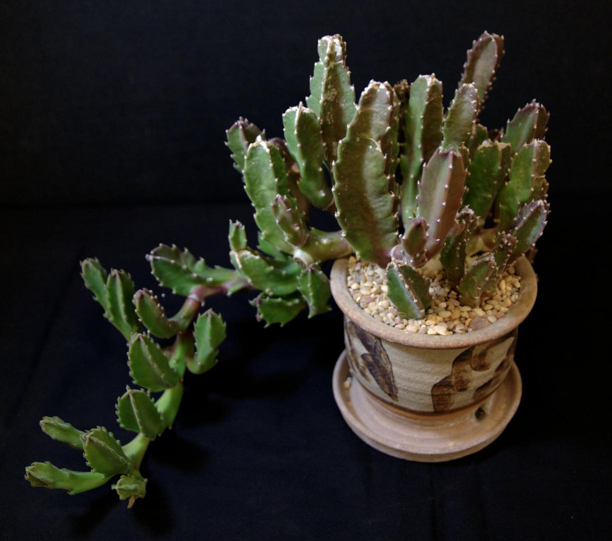 SCCSS 2015 07 - Winner Intermediate Succulent - Phyllis DeCrescenzo - Stapelia gigantea