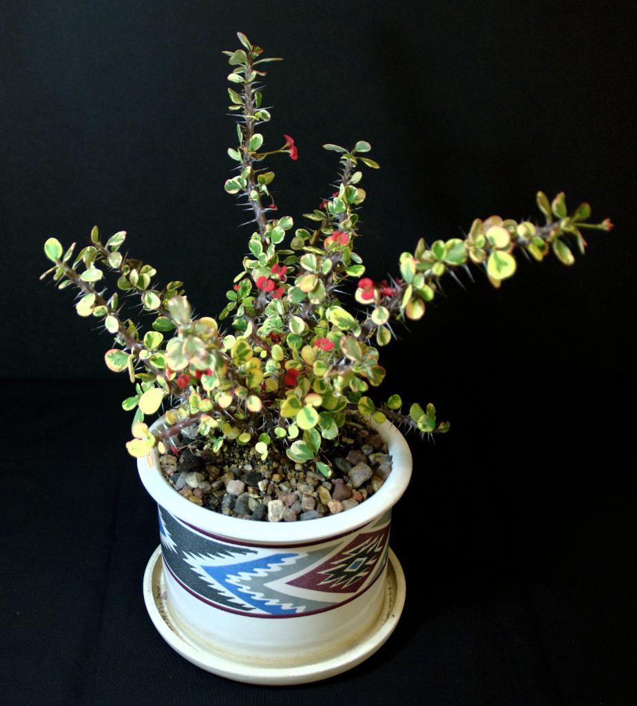SCCSS 2015 August Winner Intermediate Succulent - Phyllis DeCresenzo - Euphorbia milii variegata 'Golden Hearts'