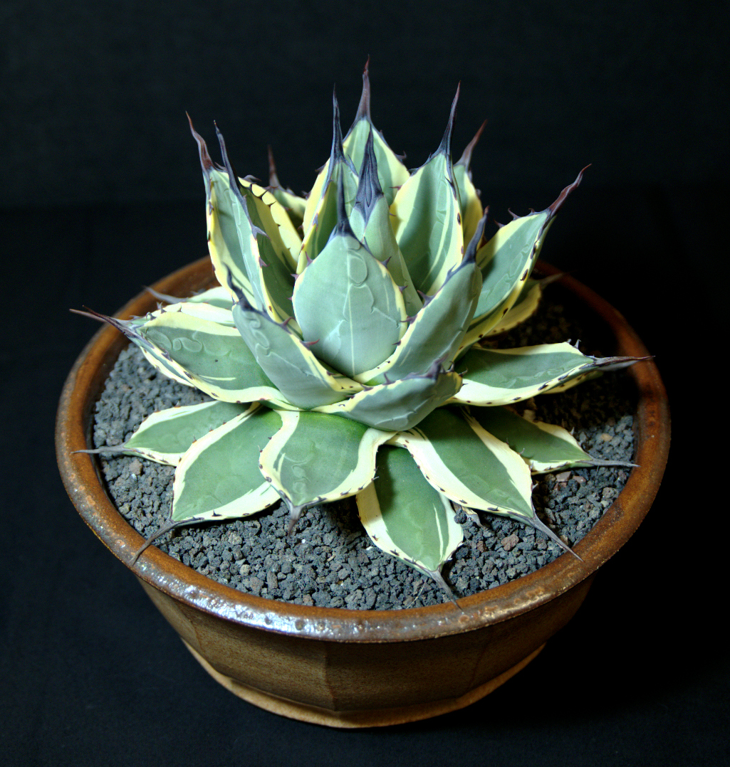 SCCSS 2015 September - Winner Novice Succulent - Sally Fasteau - Agave applanata 'CreamSpike'
