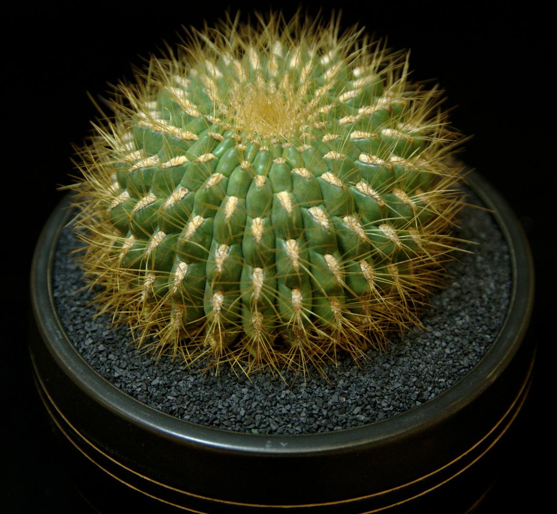 SCCSS 2015 October - Winner Intermediate Cactus - Jim Wood - Oroya borchersii