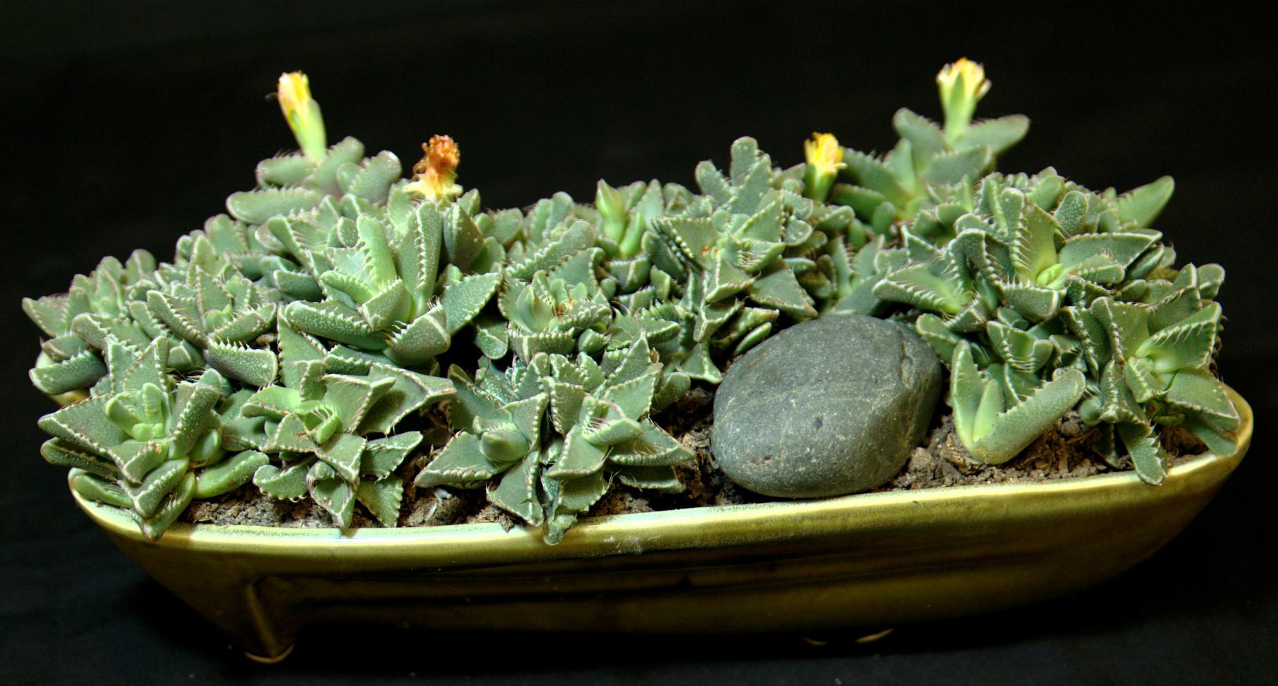 SCCSS 2015 October - Winner Intermediate Succulent - Phyllis DeCrescenzo - Faucaria tigrina
