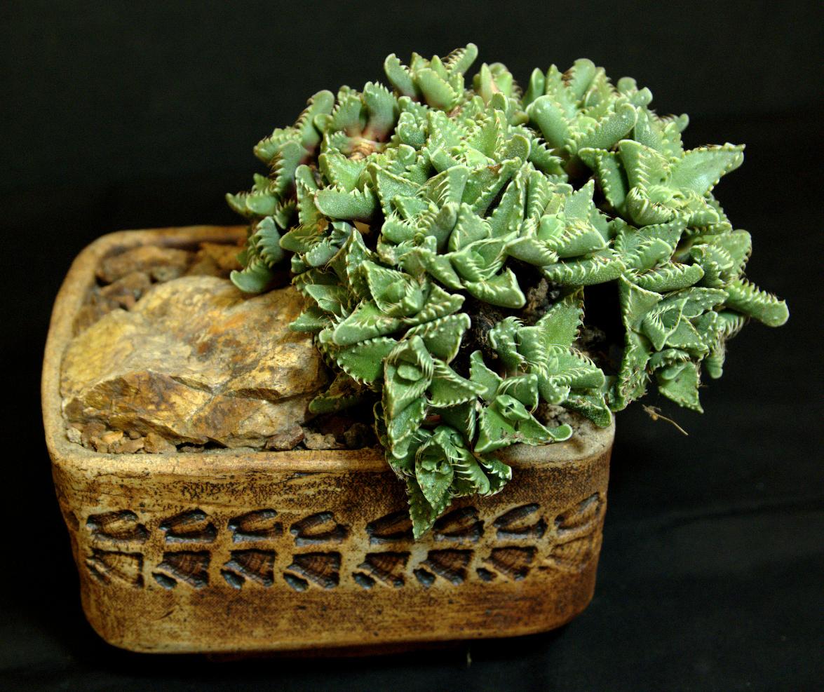 SCCSS 2015 October - Winner Open Succulent - Gary Duke - Faucaria tigrina