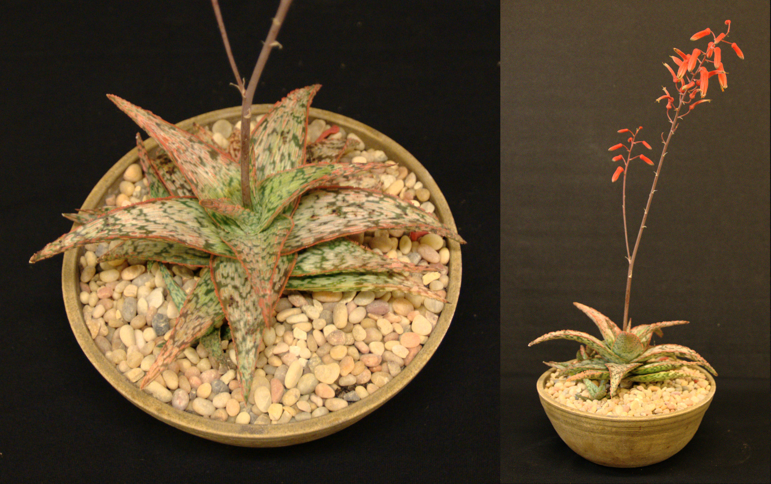 SCCSS 2015 November - Winner Intermediate Succulent - Jackie Johnson - Aloe
