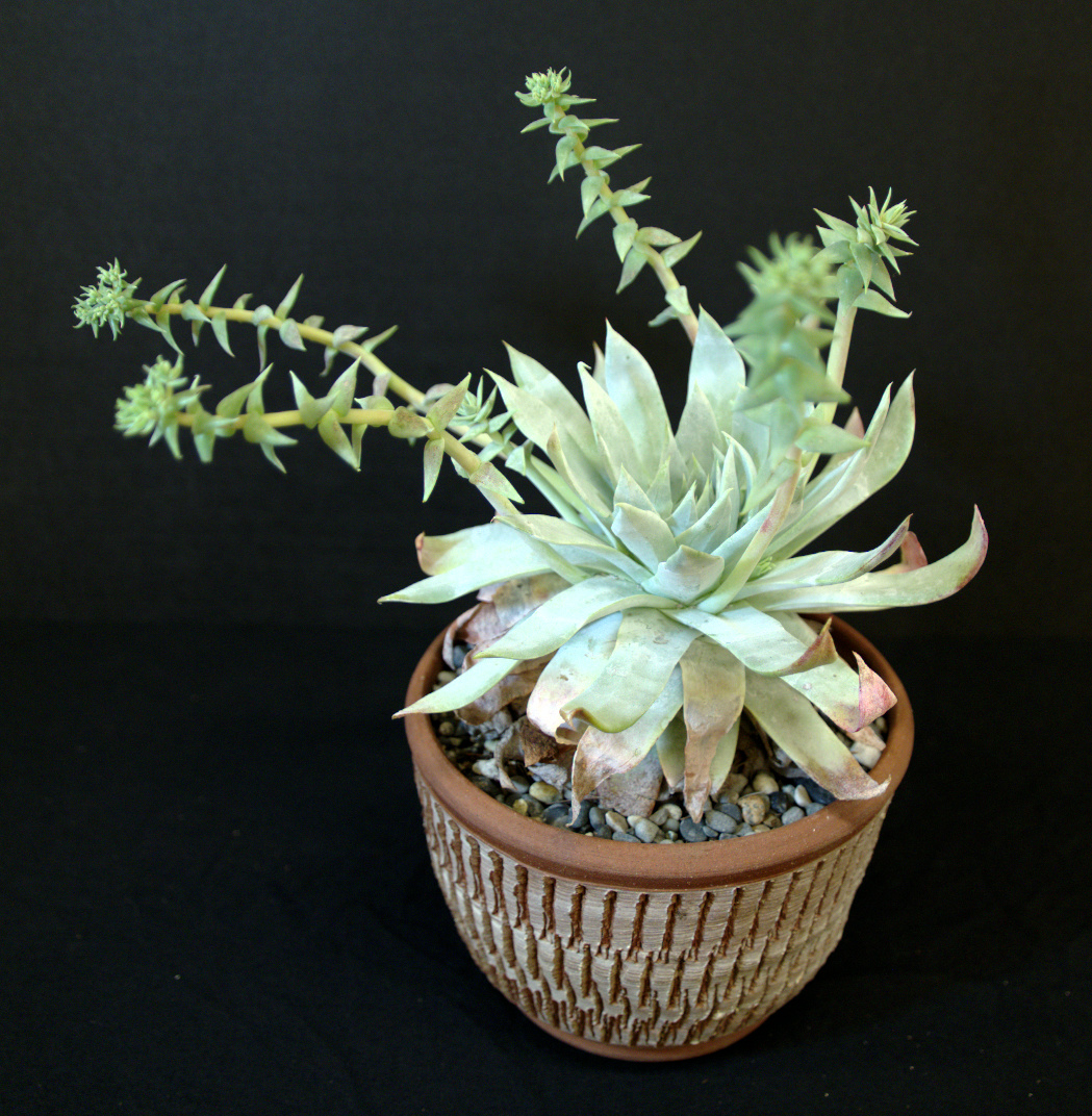 SCCSS 2016 January - Winner Novice Succulent - Mike Short - Dudleya brittonii