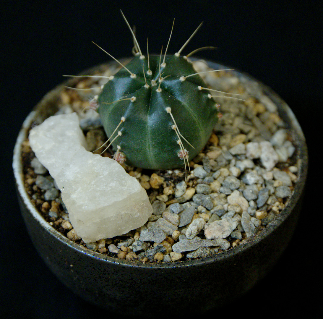 SCCSS 2016 February - Winner Intermediate Cactus - Phyllis DeCrescenzo - Echinocereus knippelianus