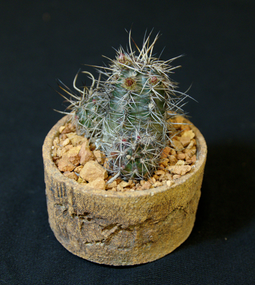 SCCSS 2016 February - Winner Open Cactus - Gary Duke - Echinocereus davisii